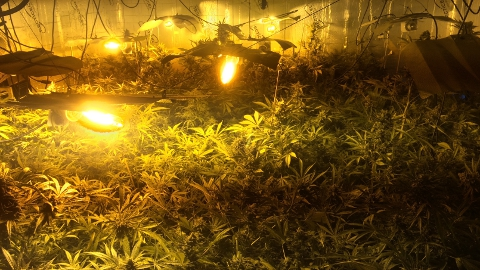 Cannabis factory in Bromley