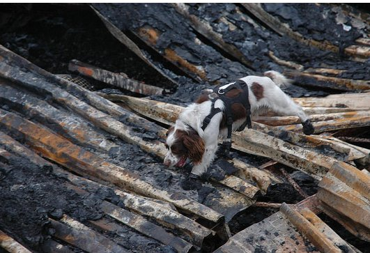 Fire investigation dog in action sniffing out the causes of suspicioius fires