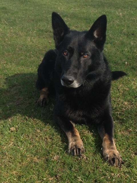 Jacob the police dog who helped arrest two violent burglars in Croydon. Image: Met Police