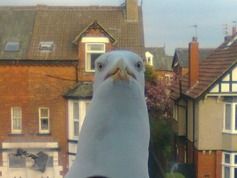 A curious gull (image: with thanks to Andrew Noble)