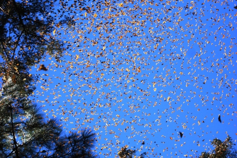 The monarch butterfly is a long-distance migrator. Just like birds, it migrates both north and south. Image: Luna sin Estrellas, Flickr. Creative commons licence.