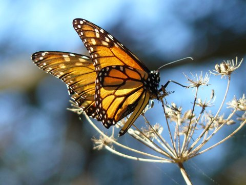 The monarch butterfly resting on a fennel. Image: Wikimedia creative commons licence.