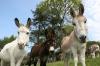 Berry, Hannah and Napoleon at Paccombe Farm. Photo Copyright of The Donkey Sanctuary.