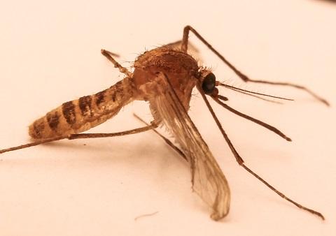 Culex Pipiens Molestus
